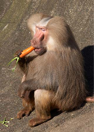 Baboon Eating Carrot